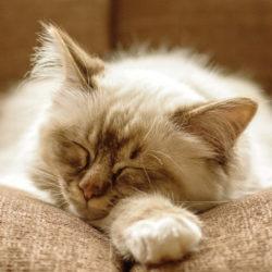 10 лучших успокоительных средств для кошек и котов